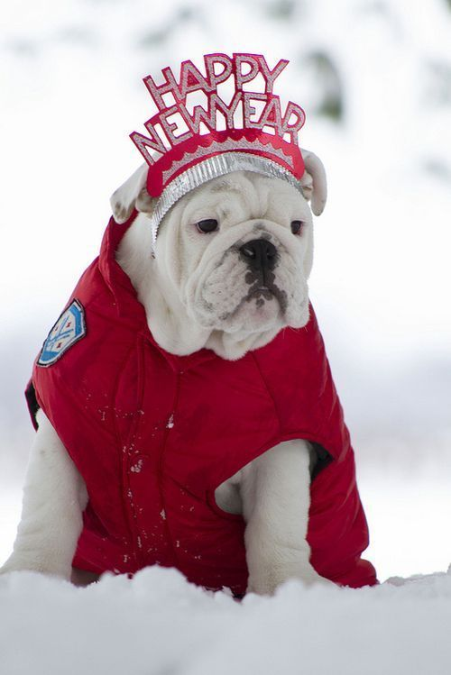 Bulldog new year